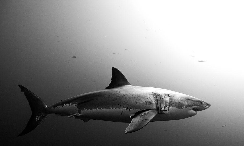Tiburón Jorge Cervera