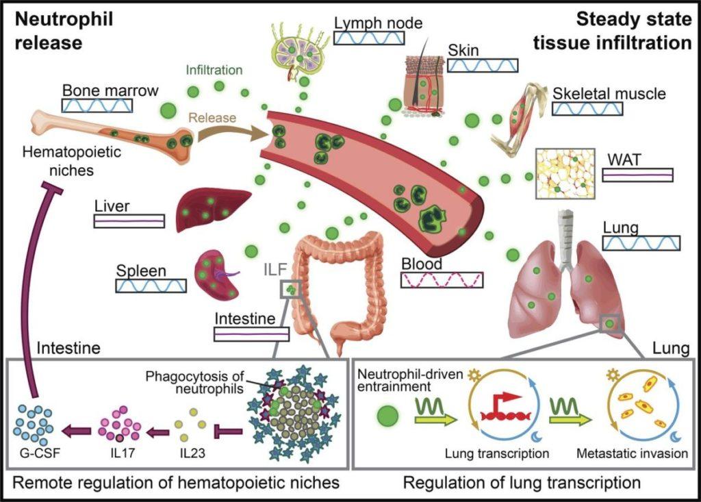 Descubren la doble y desconocida función del sistema inmune